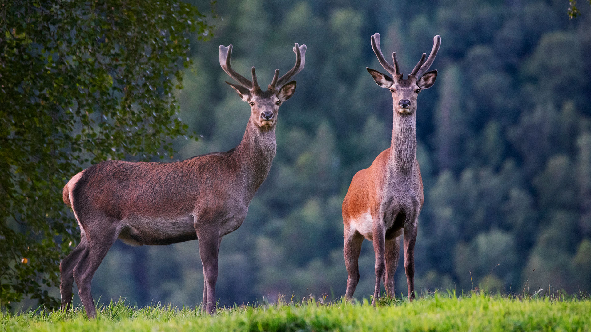 Two red deers.