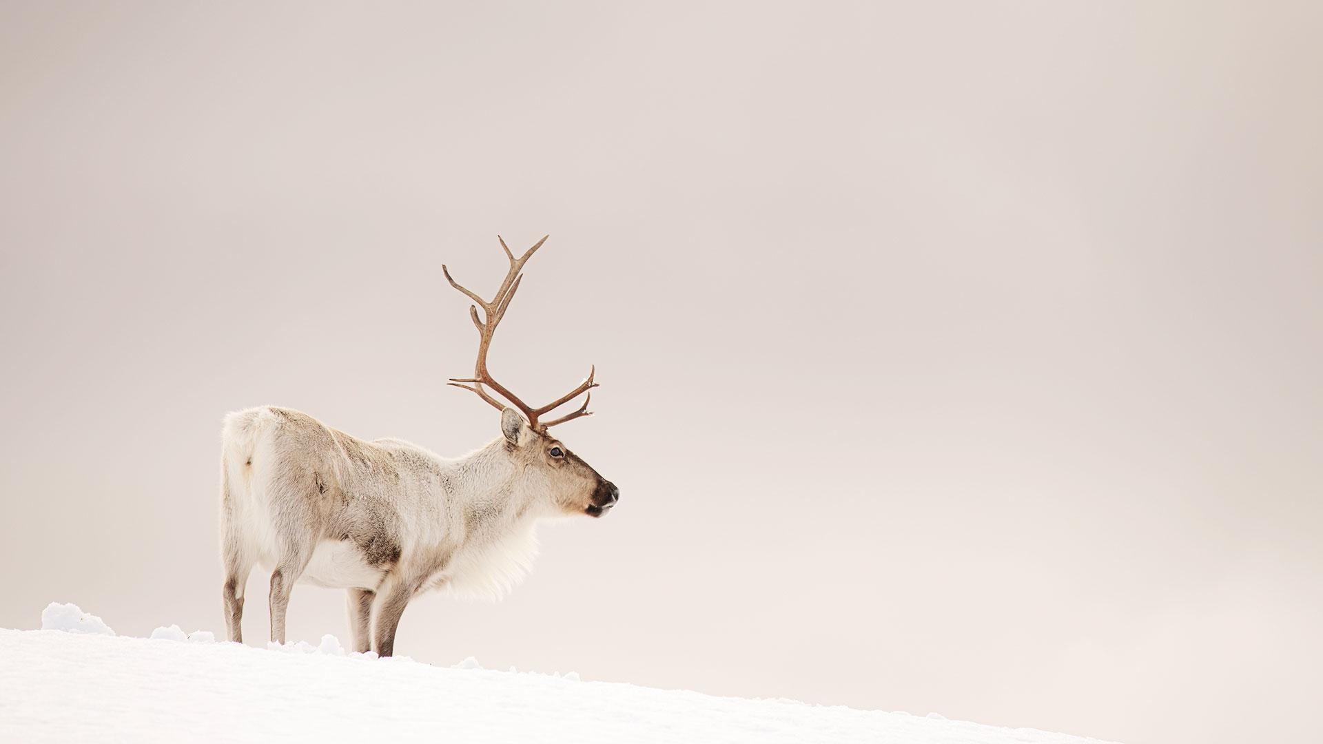Wild reindeer.