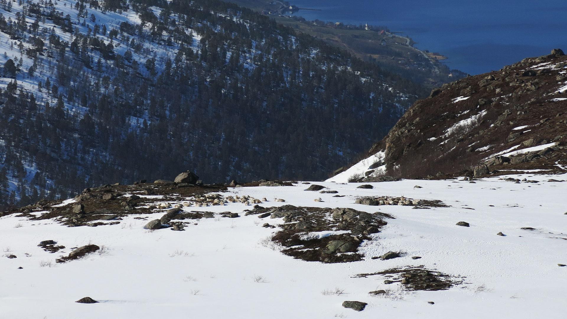 Wild reindeer herd resting.