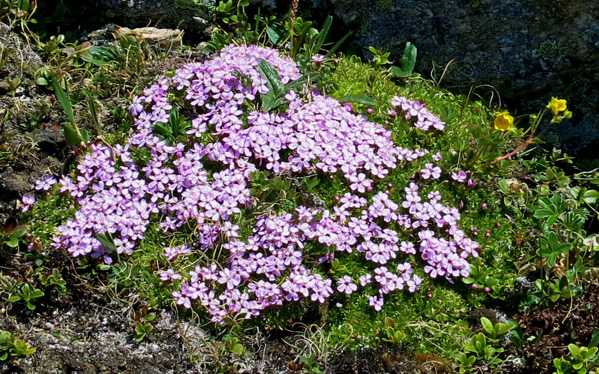 Mountain flower.